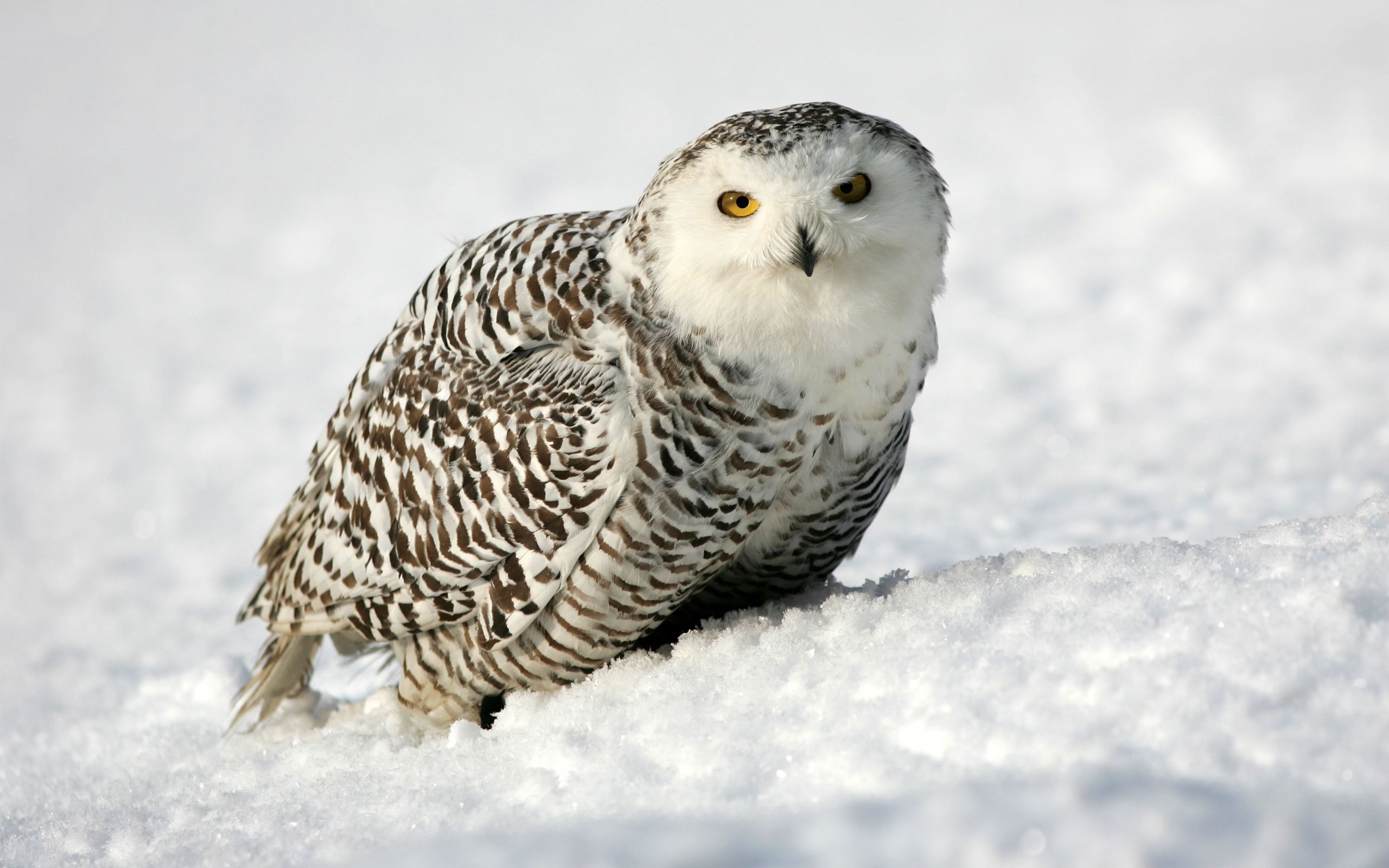 Snowy owl beautiful hd beautiful pictures all hd wallpapers snowy owl beautiful hd beautiful pictures snowy owl 1 voltagebd Choice Image
