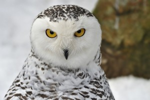 Snowy Owl Beautiful HD Beautiful Pictures