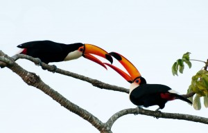 Toco Toucan Bird High Quality HD Wallpapers