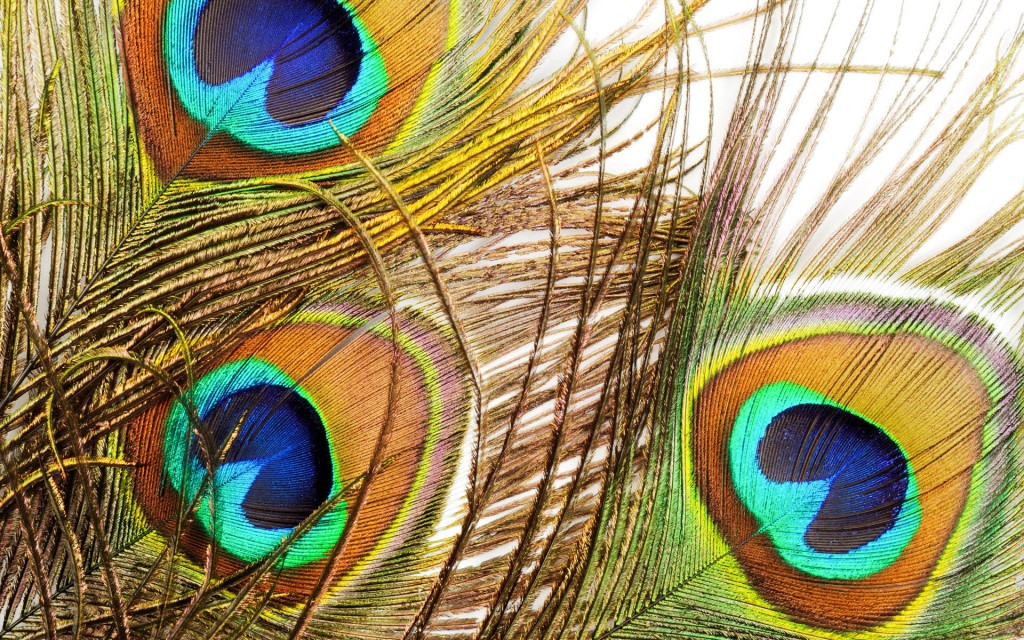 Three Beautiful peacock feathers, close up , micro shot