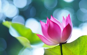 Lotus Flower Beautiful High Quality HD Wallpapers