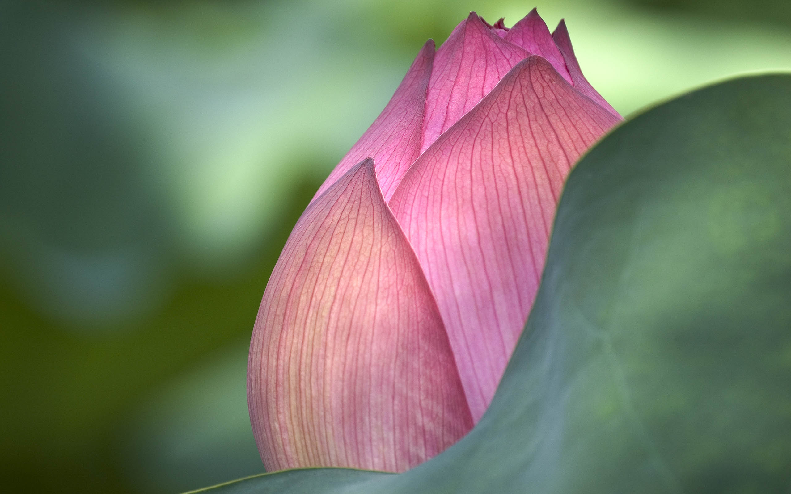 Lotus flower beautiful high quality hd wallpapers all hd wallpapers lotus 2 mightylinksfo