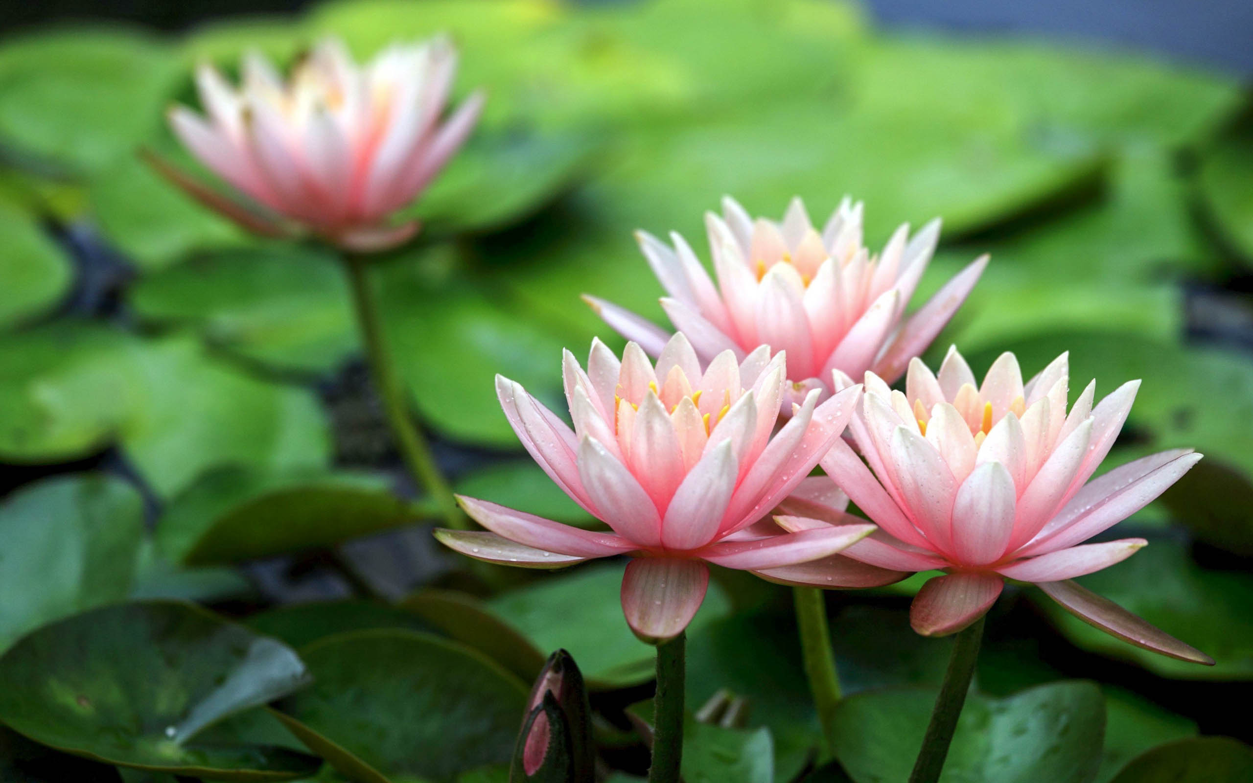 Lotus Flower Beautiful High Quality HD Wallpapers - All HD ...