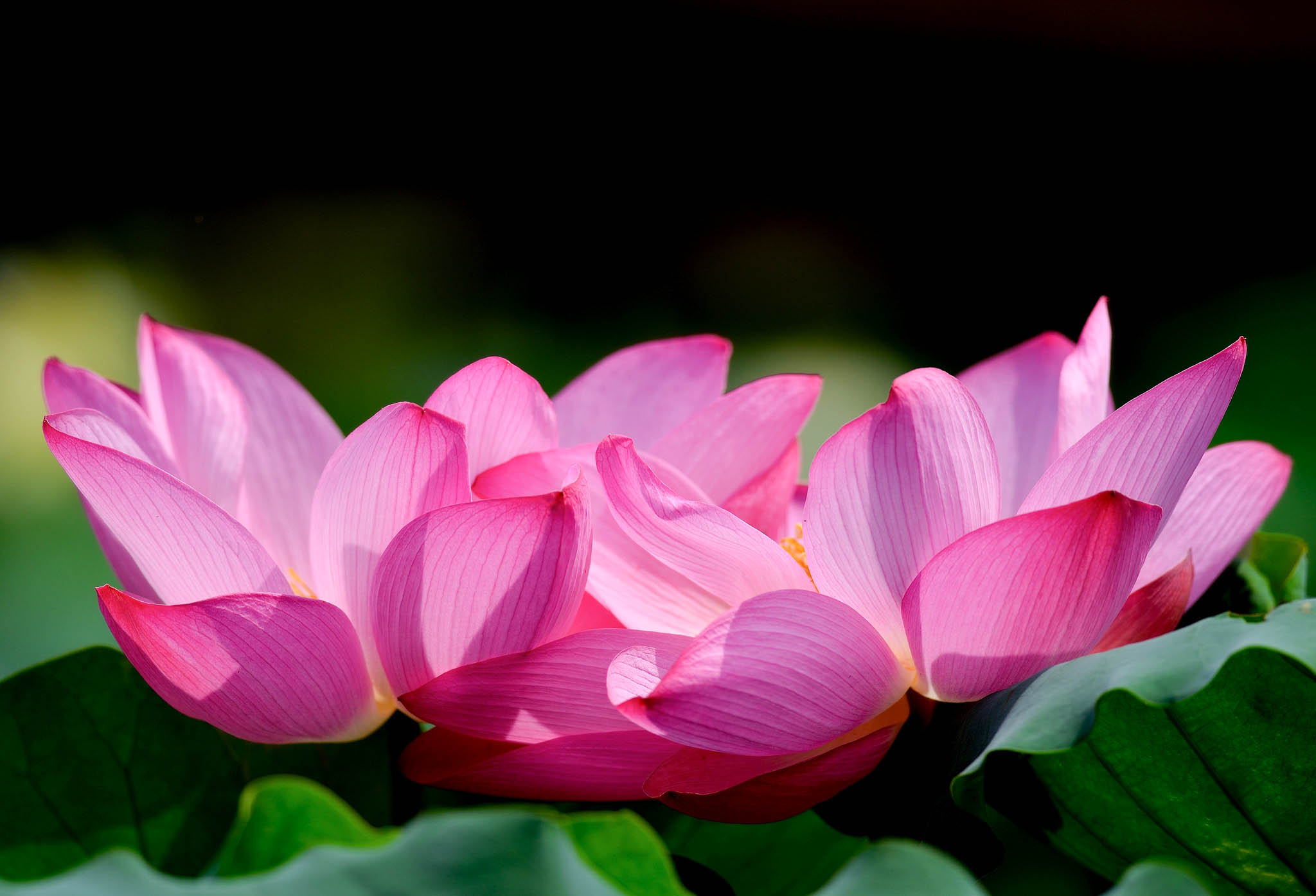 Lotus flower beautiful high quality hd wallpapers all hd wallpapers lotus 9 izmirmasajfo