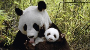 Beautiful Panda Some Awesome HD Pictures & Wallpapers