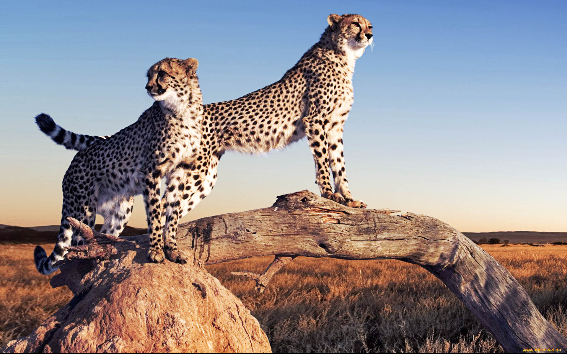 beautiful cheetah hd wallpapers amp backgrounds all hd