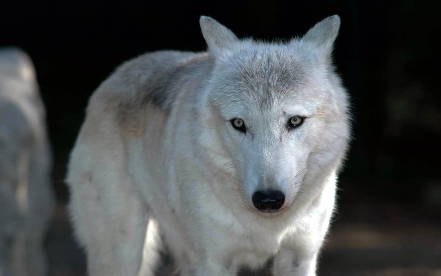 wolf awesome hd wallpapers pictures high quality all