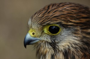 Hawk Bird HD Wallpapers & Desktop Backgrounds In High Resolution