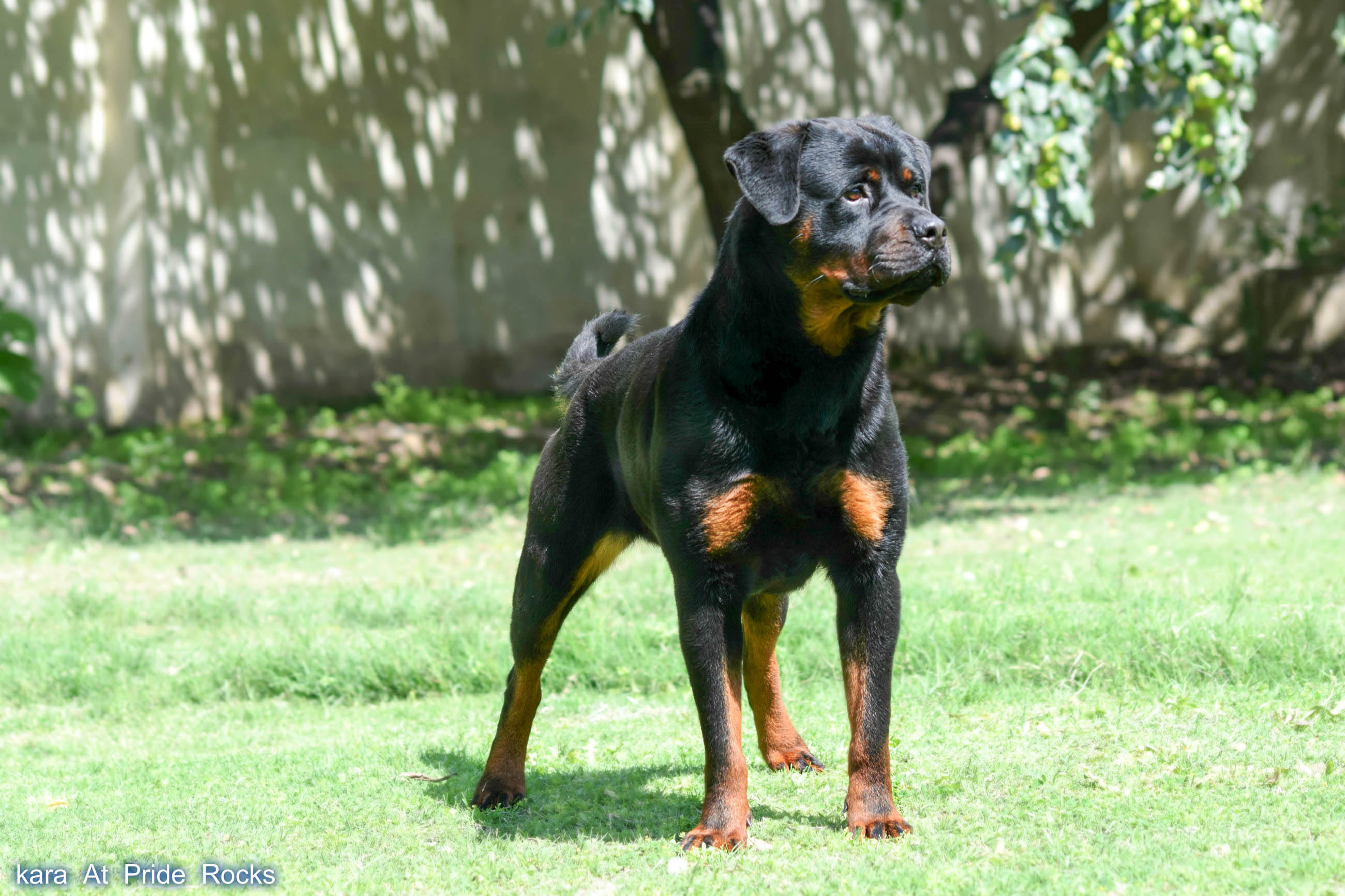 Rottweiler Awesome Hd Wallpapers Backgrounds In High