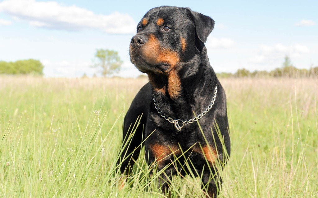 portrait of a purebred rottweiler in a field