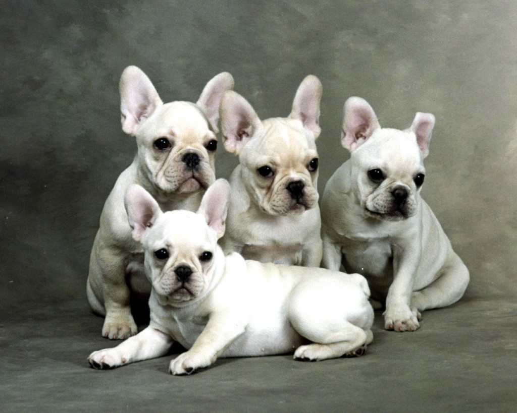 French Bulldog (7)
