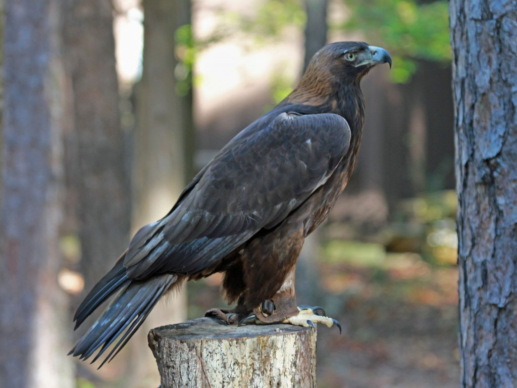 Golden Eagle (4)