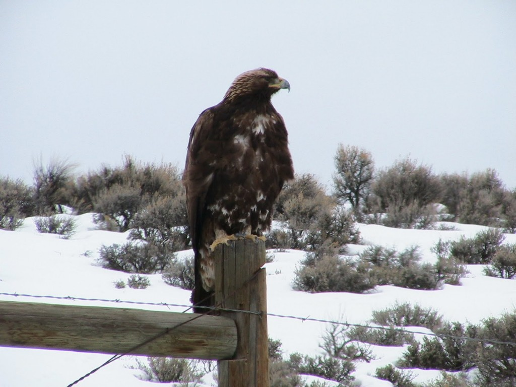 Golden Eagle (5)