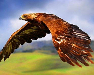 Golden Eagle (6)
