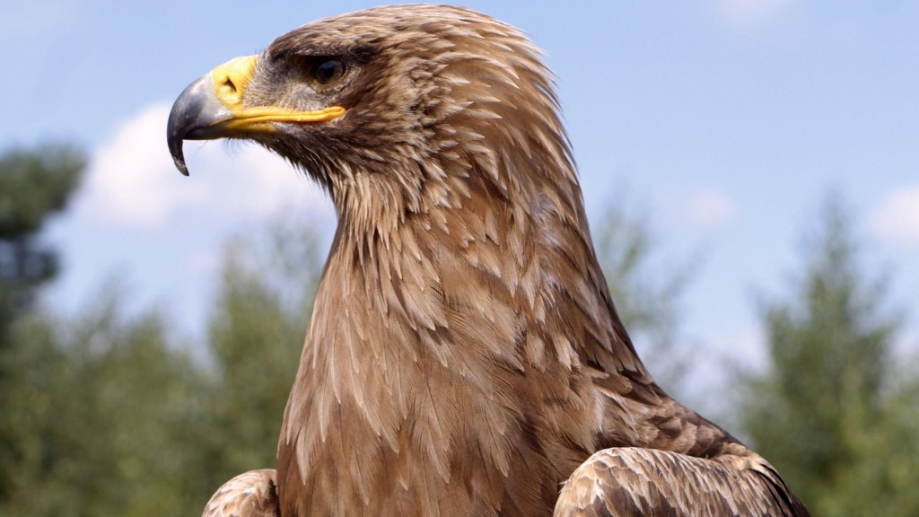 Golden Eagle (7)