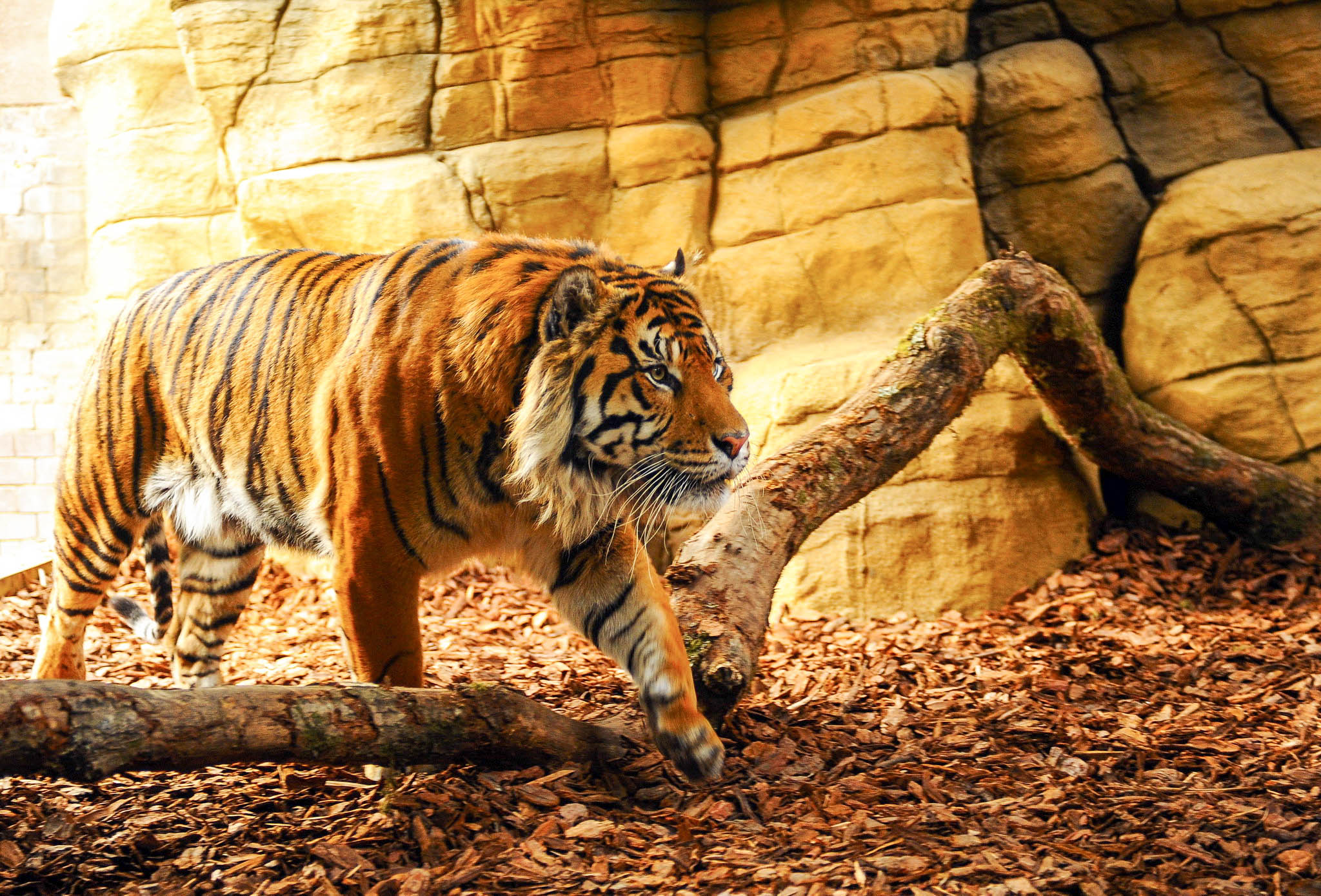 Tiger High Definiton HD Desktop Backgrounds & Wallpapers
