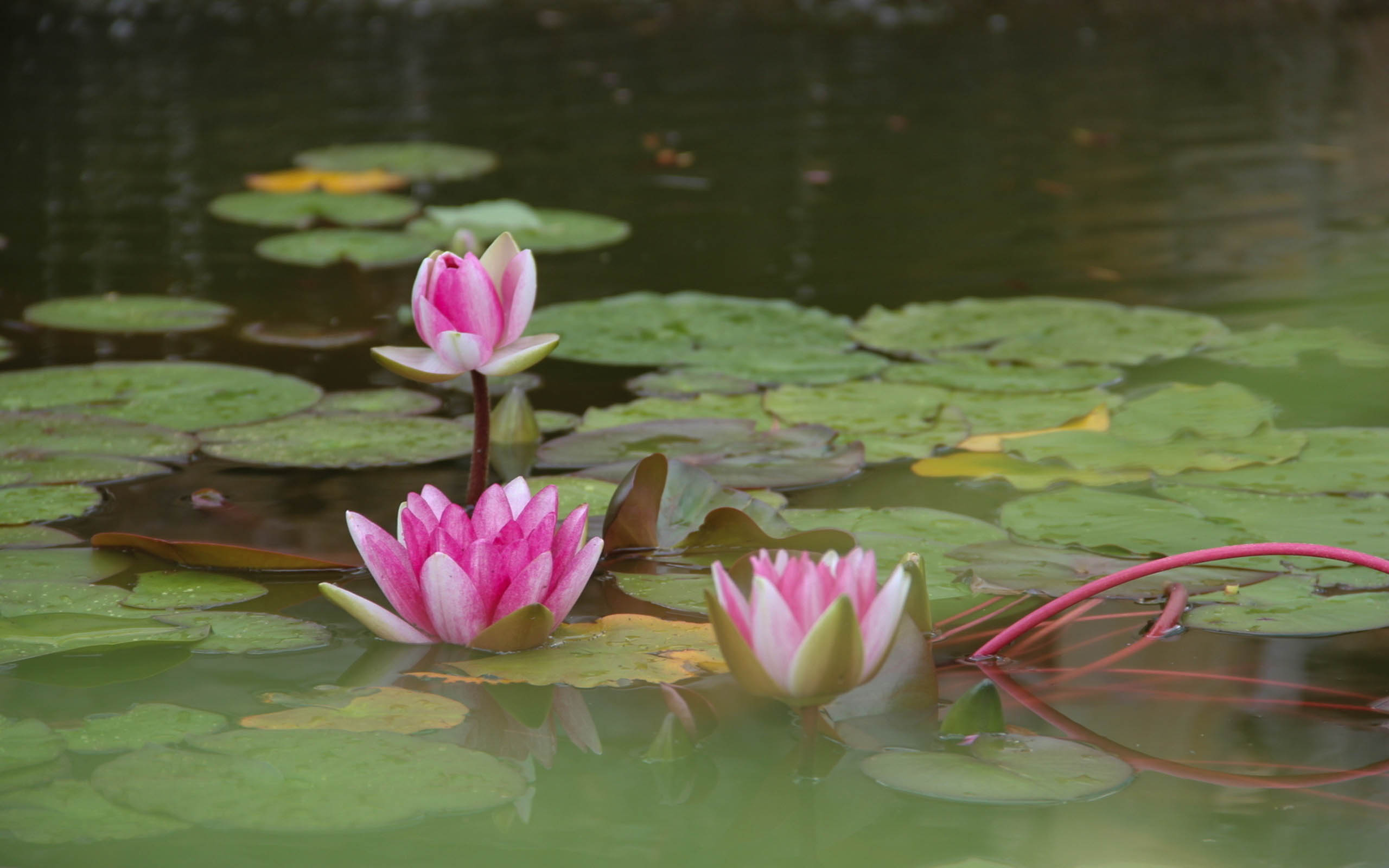 Lotus Flower Beautiful High Quality Hd Wallpapers All Hd Wallpapers