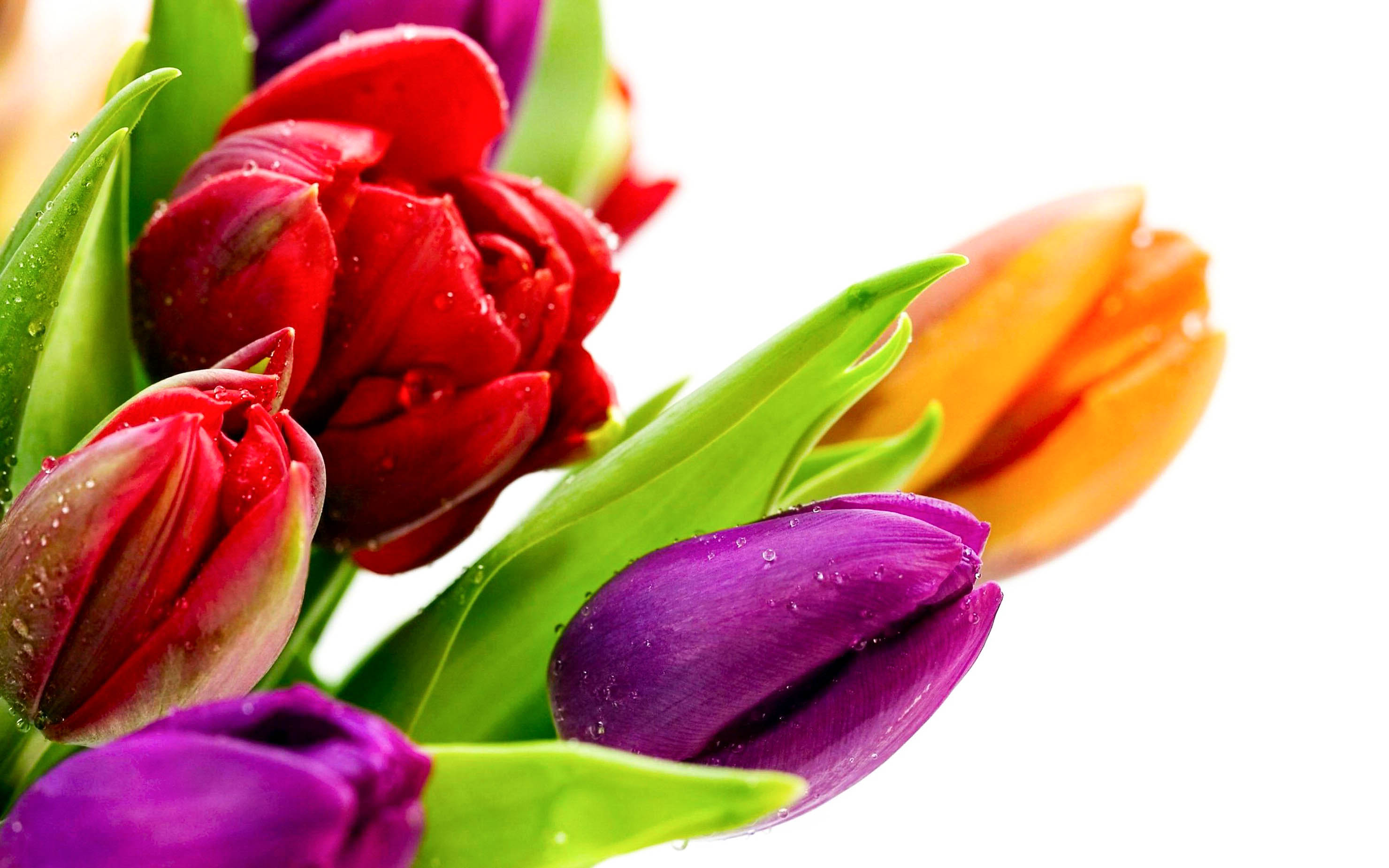 Tulip Flower High Resolution HD Wallpapers 2015