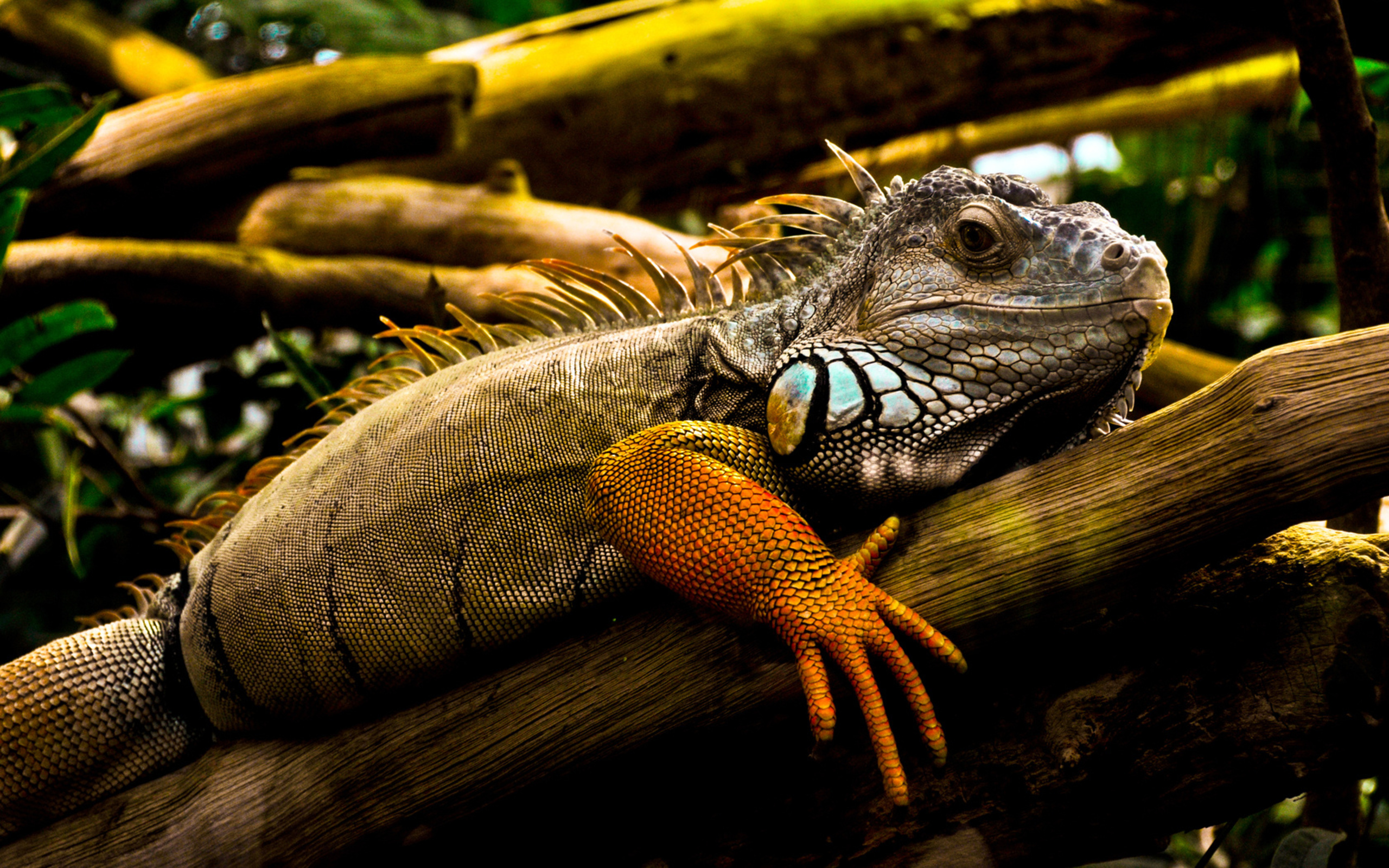 Hd Wallpapers Images: Iguana HD Wallpapers & Images (High Definition