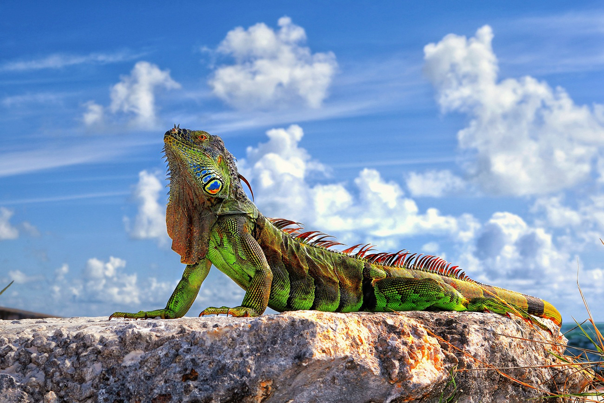 Hd Backgroumds: Iguana HD Wallpapers & Images (High Definition