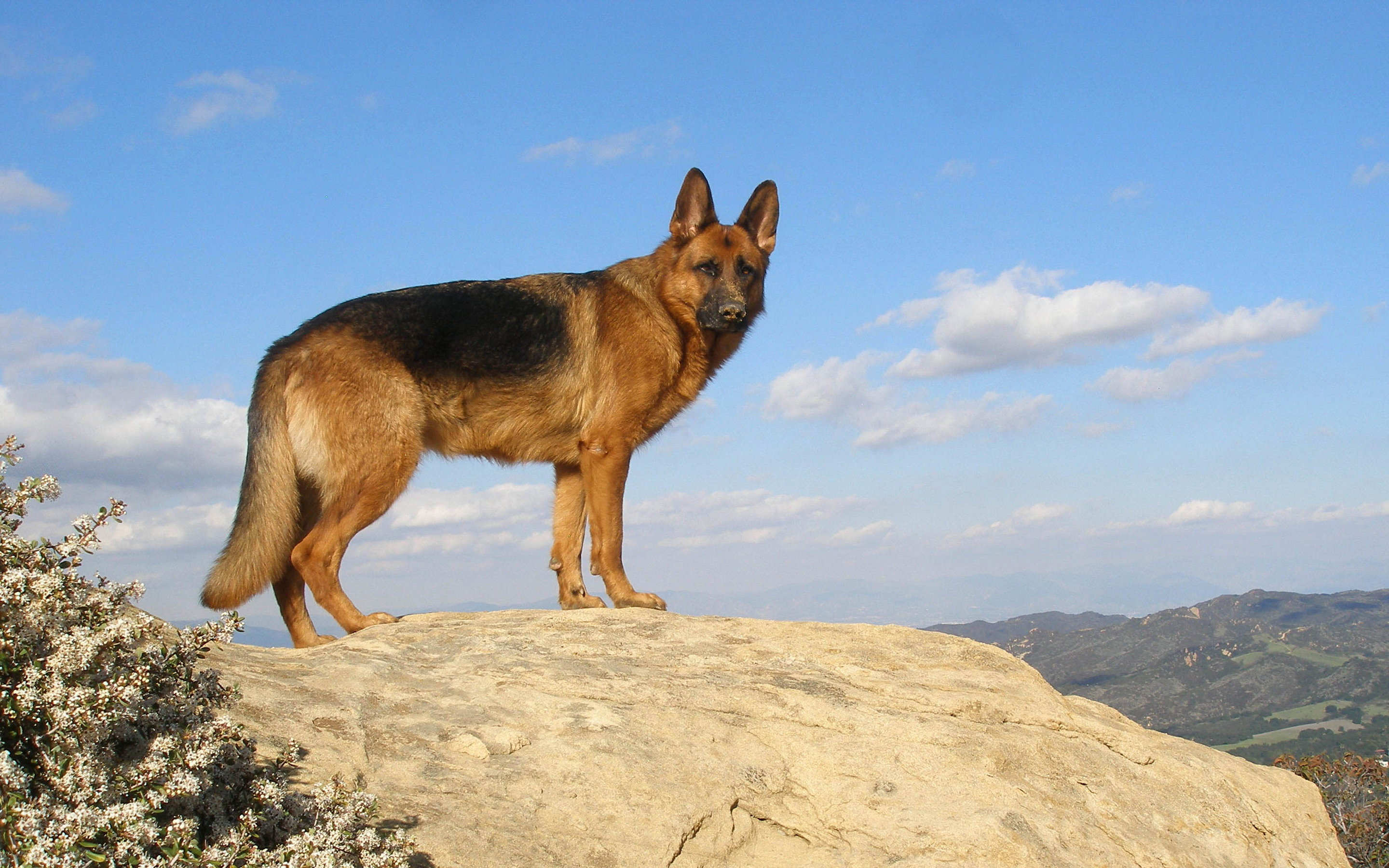 German Shepherd Awesome HD Wallpapers & Backgrounds - All ...
