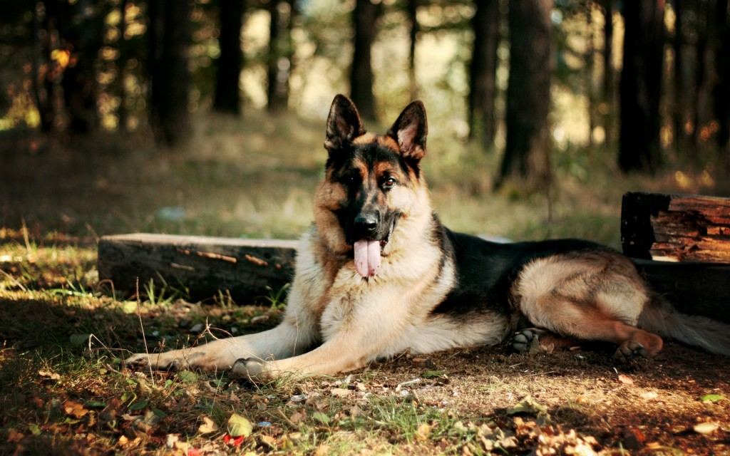 German Shepherd (4)