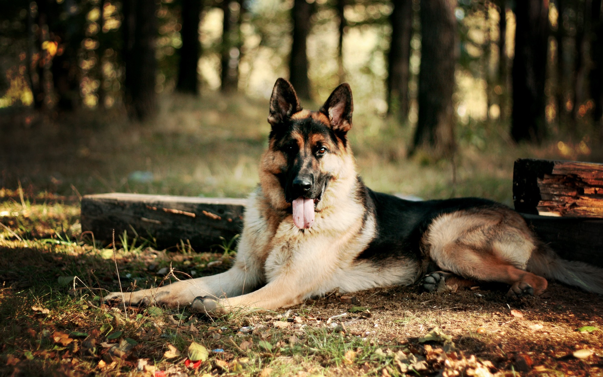 German Shepherd Awesome HD Wallpapers & Backgrounds