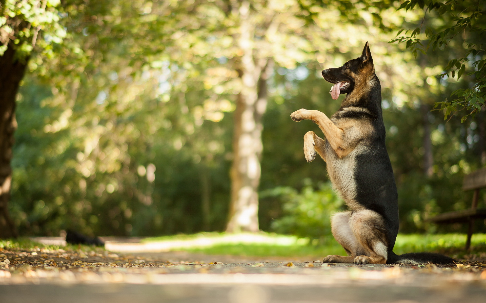 German Shepherd Awesome Hd Wallpapers Backgrounds All Hd Wallpapers