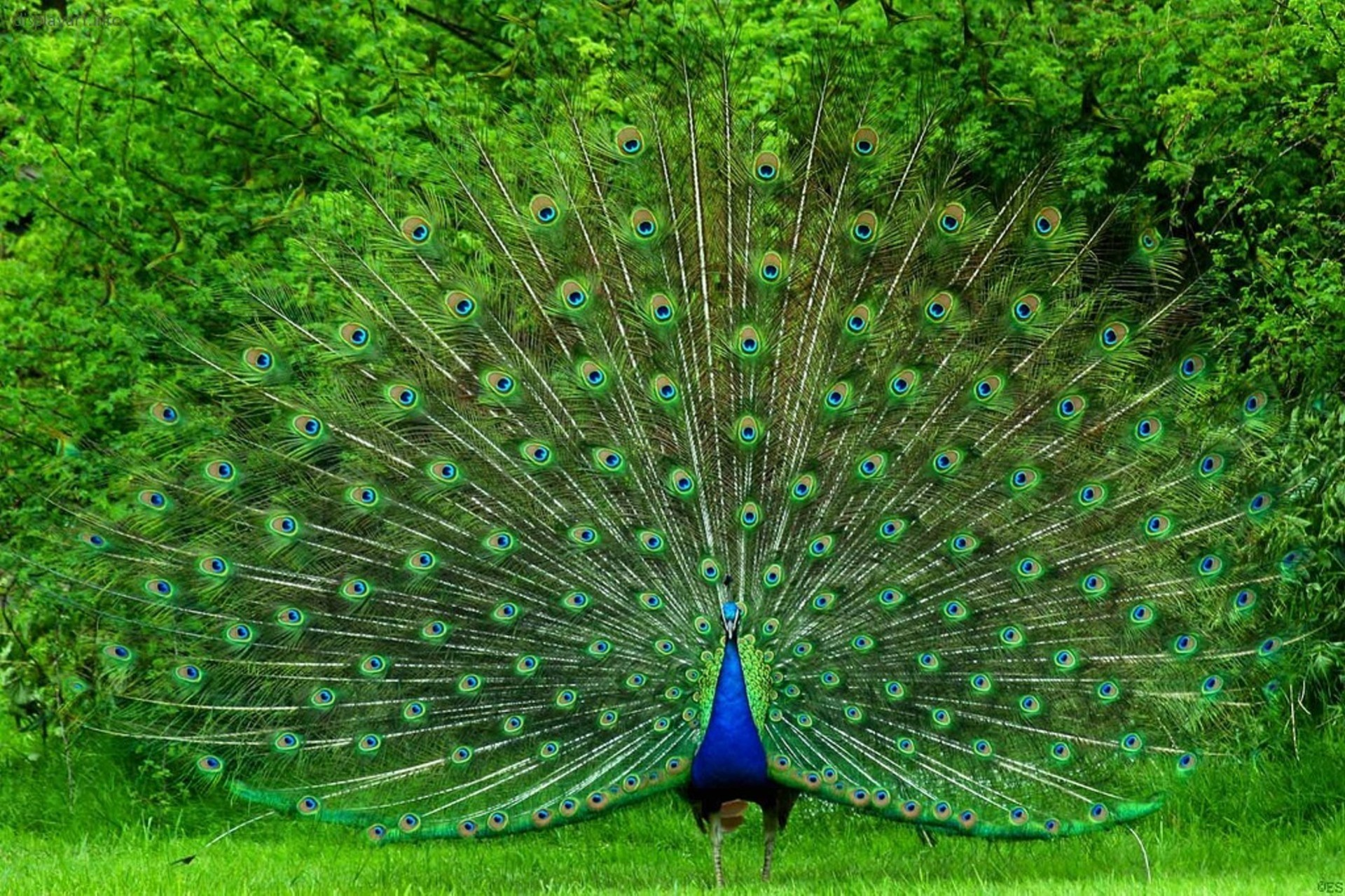 Beautiful Peafowl Awesome Hd Wallpapers High Resolution All Hd