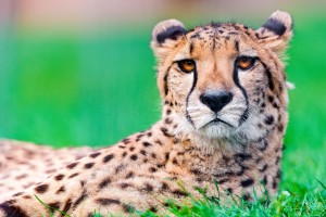 Beautiful Cheetah HD Wallpapers & Backgrounds