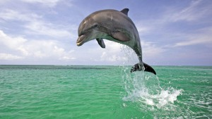 Dolphin Awesome HD Pictures, Images & Backgrounds (High Quality)