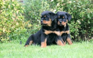 Rottweiler Awesome HD Wallpapers ,Backgrounds In High Resolution
