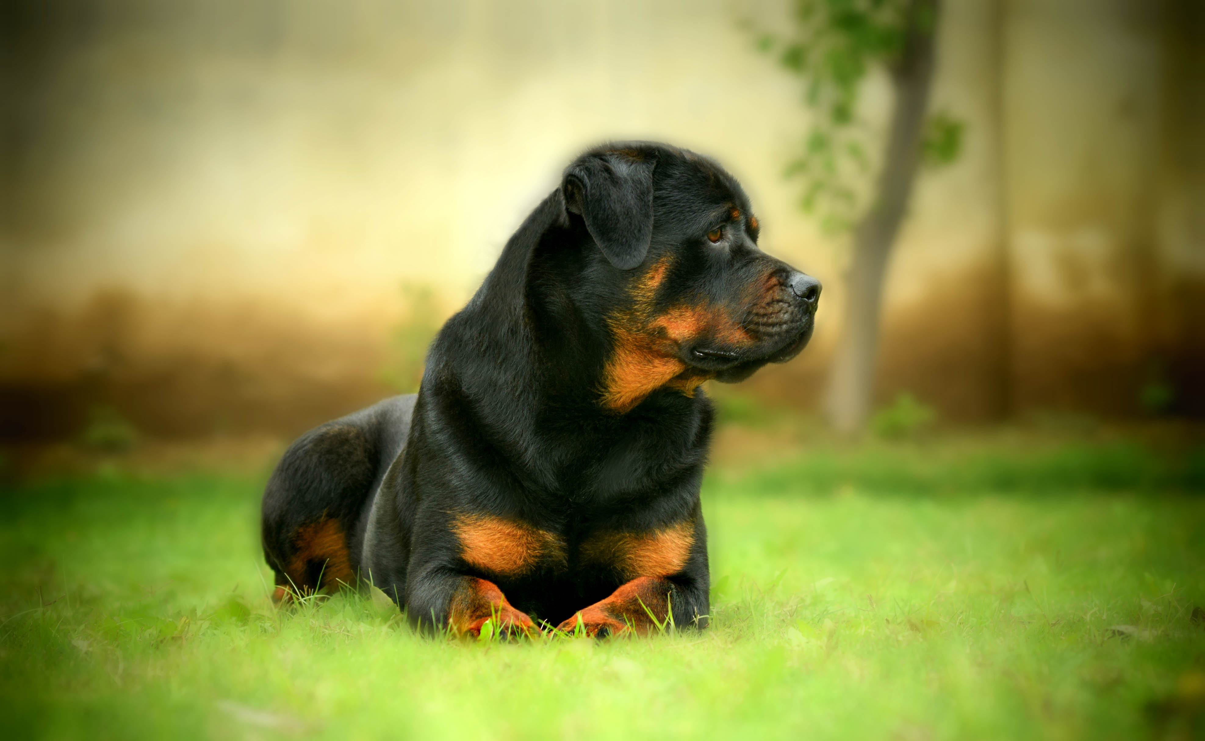 Rottweiler Awesome Hd Wallpapers Backgrounds In High Resolution