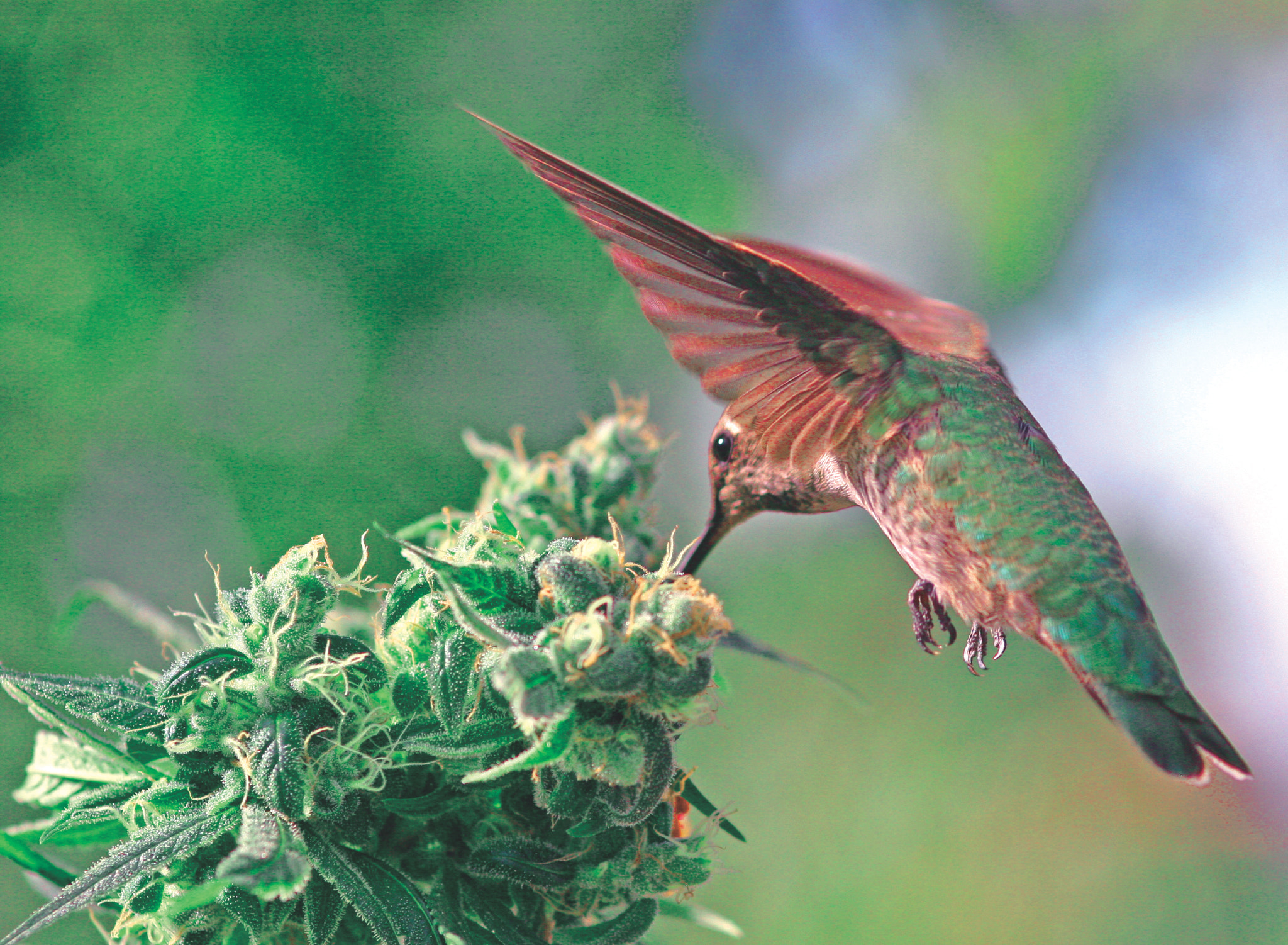Bird on weed bud